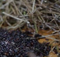 Samen und leere Samenschoten