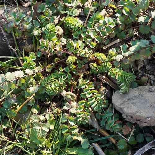 Essbare Wildpflanzen im Weintinger Hölzl