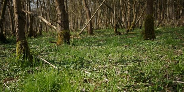 Auwald mit Scharbockskraut