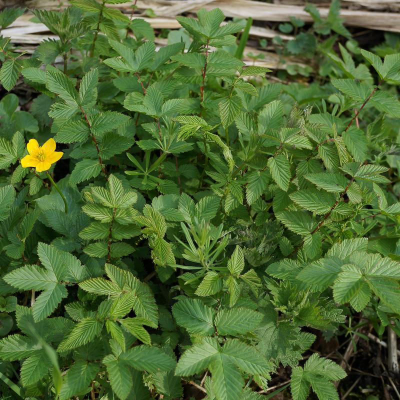 Mädesüß und Blüte der giftigen Sumpfdotterblume