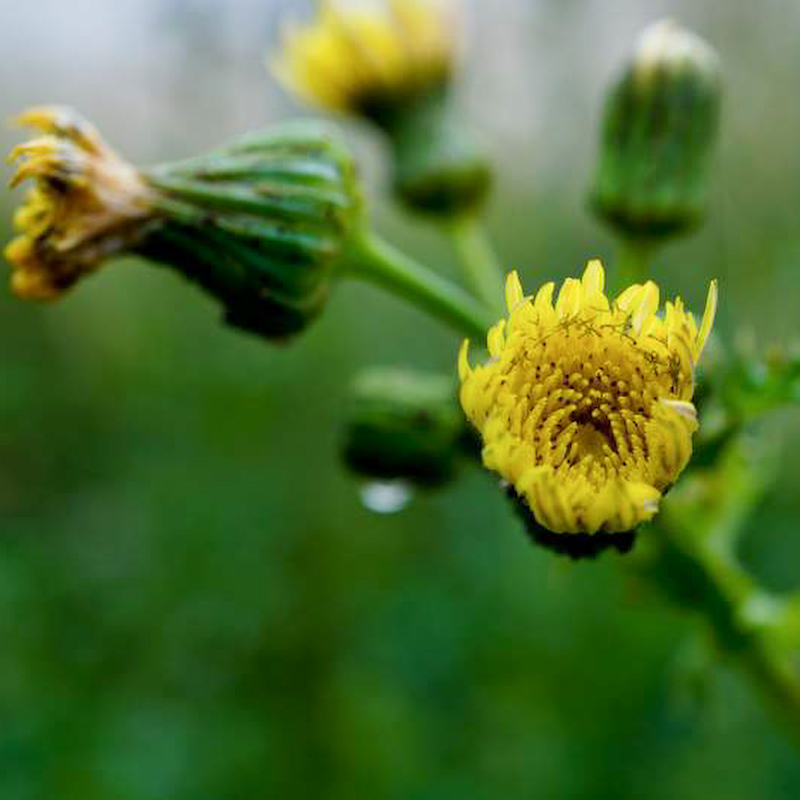 Blüte der Rauen Gänsedistel