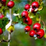 Weißdorn-Beeren