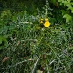 Raue Gänsedistel (Sonchus asper)