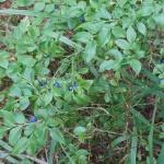 Wilde Heidelbeeren