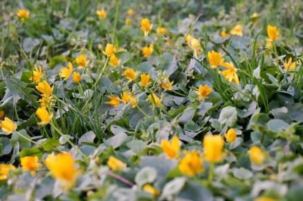 Scharbockskraut in Blüte