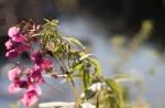 Indisches Springkraut und Brennnessel mit Samen