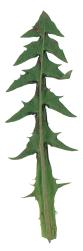 Löwenzahn, schrotsägeförmiges Blatt