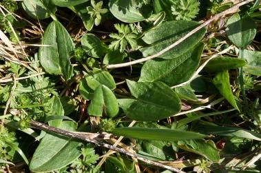 Sauerampfer - pfeilförmiges Blatt