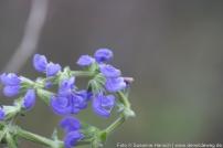 Wiesensalbei-Blüten