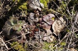 Nelkenwurzblätter von Anthocyanen geschützt