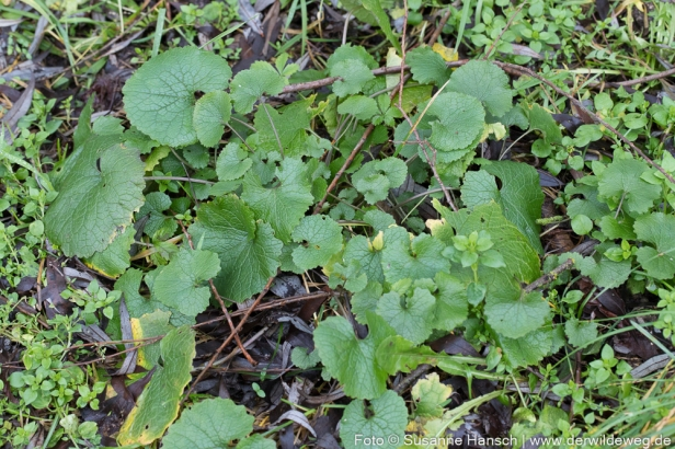 Knoblauchsrauke-Blätter
