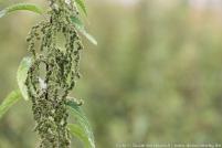 Brennnessel weiblich mit Samen